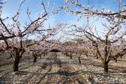 Les abricotiers en fleur au printemps